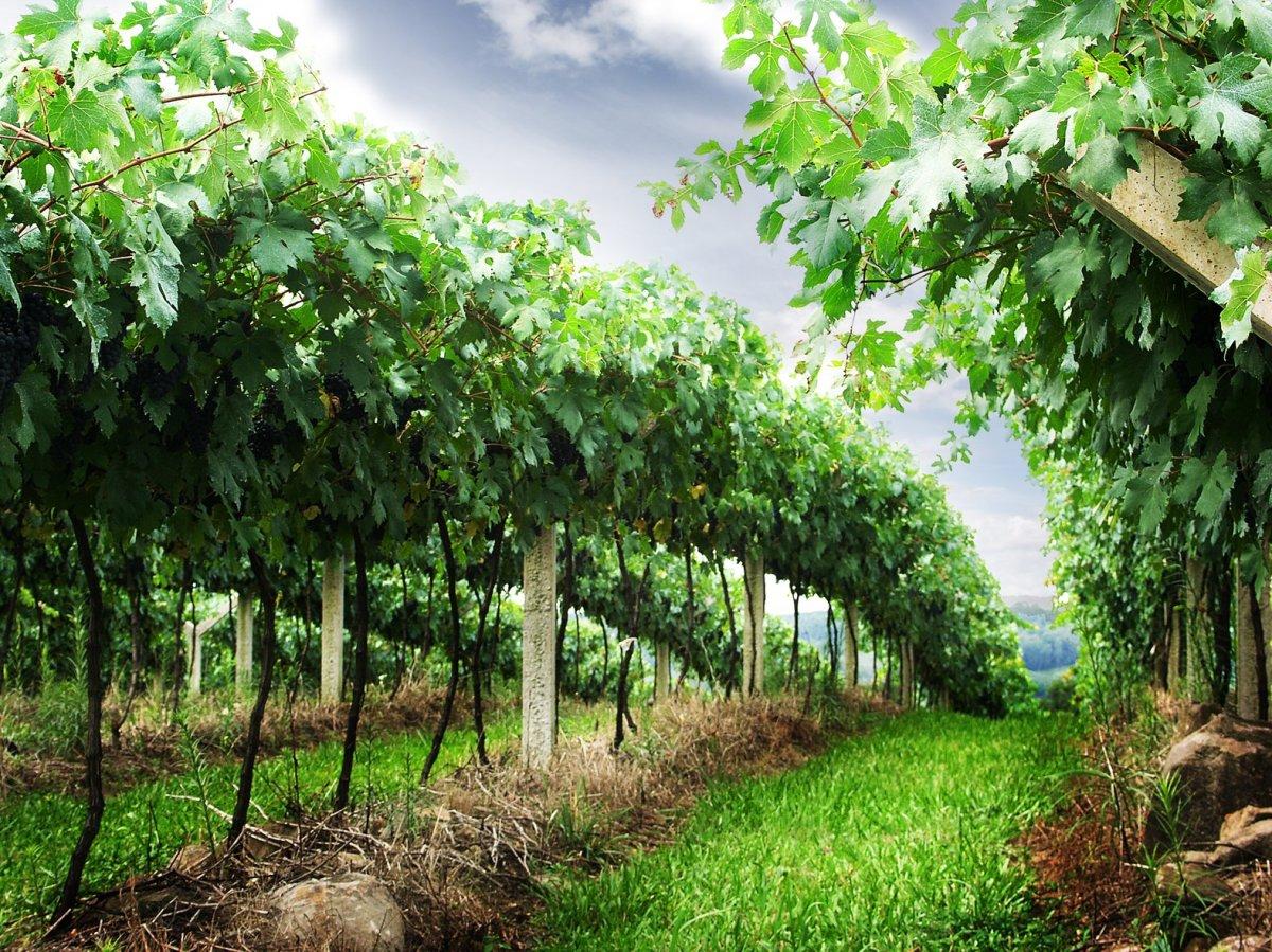 Restrukturiranje vinograda bespovratne potpore