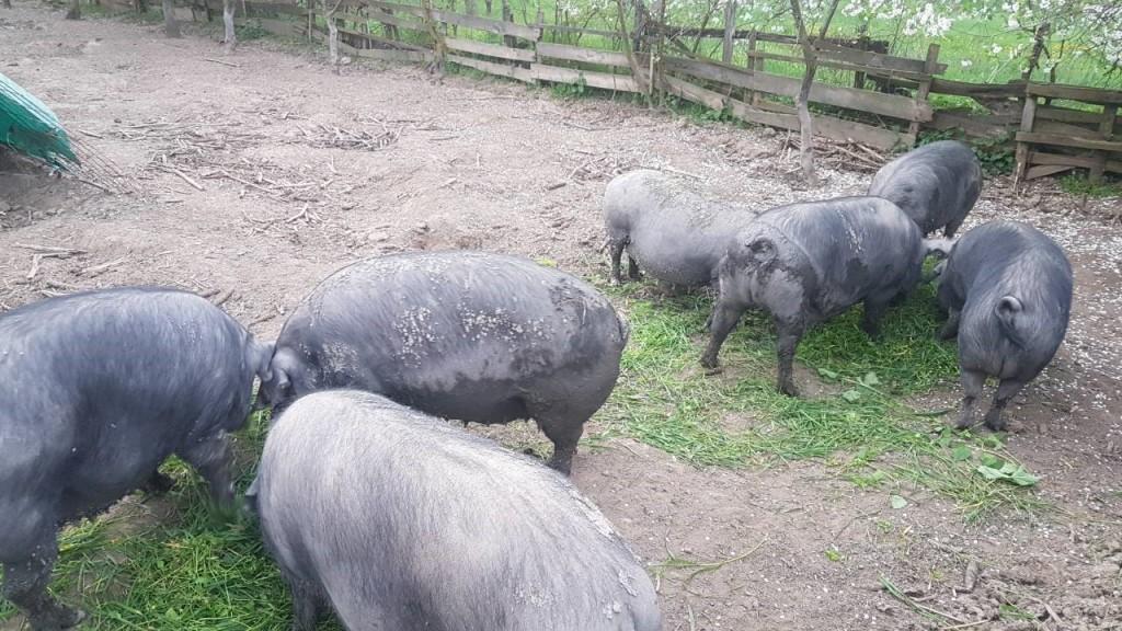 OPG Stipić iz Jastrebarskog: Projekt nabave opreme za uzgoj crne slavonske svinje; projekt financiran u cijelosti bespovratnom potporom iz Mjere 6.3., nacionalni natječaj 2018. i proveden do lipnja 2021.godine